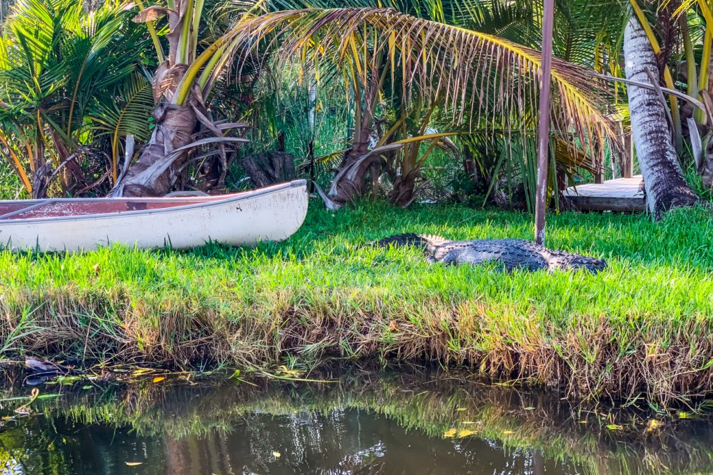 Alligator at Everglades